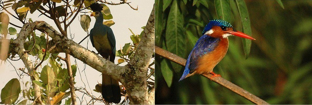 Great Blue Turaco and Malachite Kingfisher