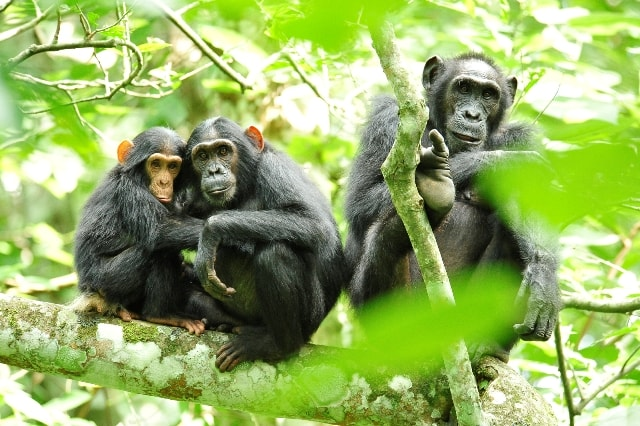Uganda Wildlife Safaris Chimpanzees in Uganda