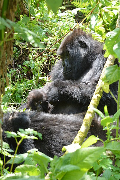 Mountain Gorilla Motherly Love