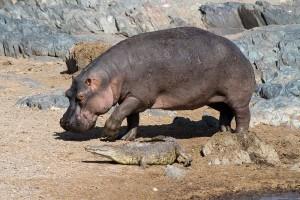 Crocodile with Hippopotamus