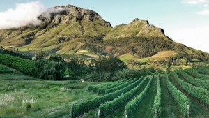 Vineyard in Stellenbosch