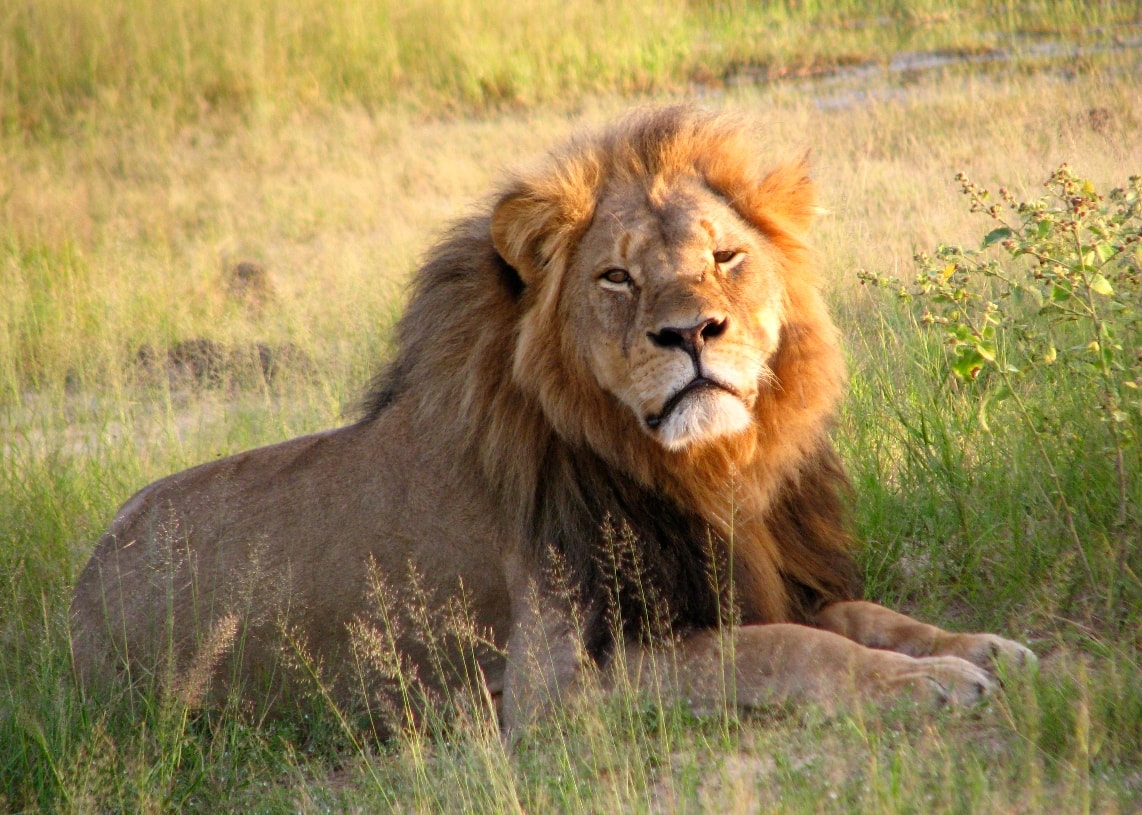 Cecil in the Hwange Park