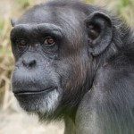 All about the Chimpanzees Chimps Face