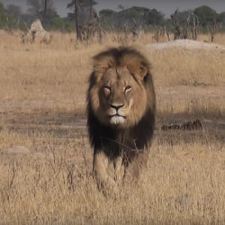 Cecil of Zimbabwe Walking