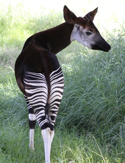 Facts about the Okapi Viewed from Behind