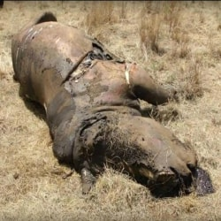 Stop Poaching in Africa Dead Rhino