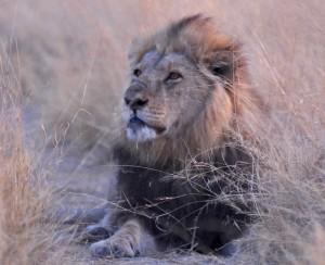 Wildlife Safari Adventures Lion