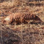 About the Pangolins Walking