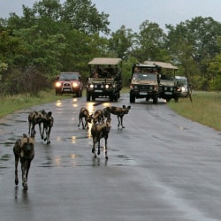 Tips for a Safari Wild Dogs in the Kruger Park