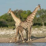 Facts about African Wildlife Giraffes Drinking