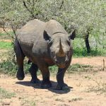 Save the Black Rhinoceros Walking