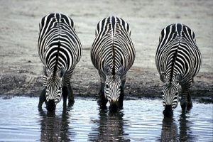 Amazing Facts about the Zebras_Zebras Drinking Water