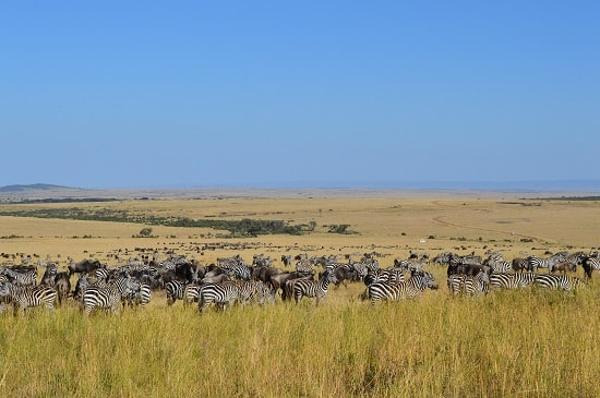 Zebras Wildebeests in the Mara Reserve
