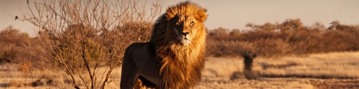 Wildlife Safari Adventures - Strong Confident Lion on a Hill